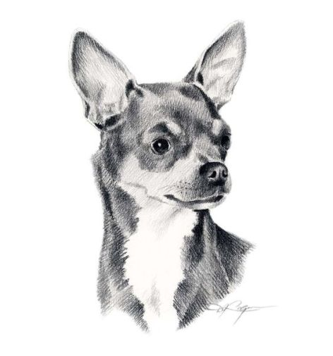 Chihuahua by D J Rogers